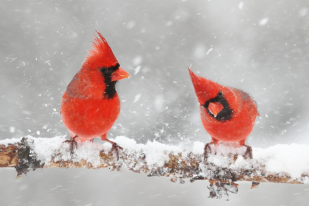 Male Northern Cardinals (cardinalis cardinalis) in a snowy scene 版權商用圖片