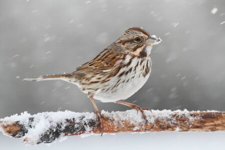 Song Sparrow (Melospiza melodia) perched on a snow covered tree limb in falling snow Banco de Imagens