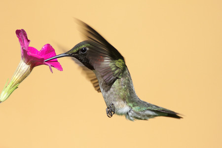 ruby throated: Male Ruby-throated Hummingbird (archilochus colubris) in flight with a purple yellow flower Stock Photo
