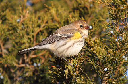 songbird: Yellow-rumped Warbler (Dendroica coronata) perched in a cedar tree eating berries Stock Photo
