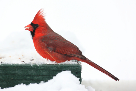 bird feeder: Male Northern Cardinal (cardinalis cardinalis) on a feeder in snow