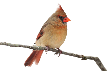 female cardinal: Female Northern Cardinal (cardinalis cardinalis) in a snowy scene