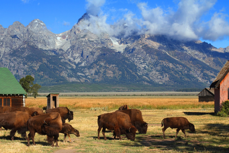 Iconic Mormon Row Barn which is a structure that is a part of Grand Tetons National Parks with bison in the foreground photo