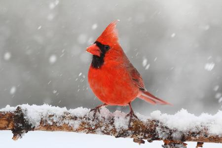 Male Northern Cardinal (cardinalis) in a snowy scene Standard-Bild