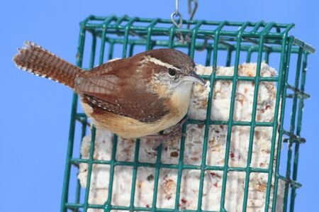 bird feeder: Carolina Wren (Thryothorus ludovicianus) on a suet feeder Stock Photo