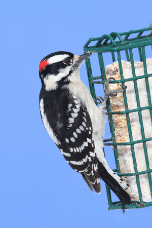 downy woodpecker: Downy Woodpecker (Picoides pubescens) on a suet feeder with a blue wall