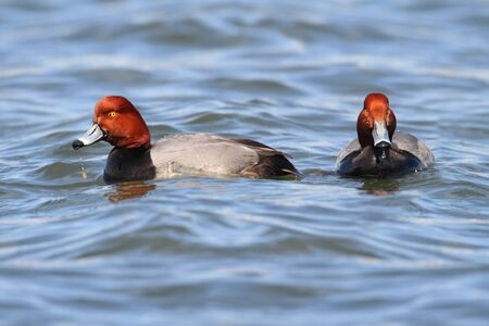 drakes: Pair of Redhead Duck Drakes (Aythya americana) swimming in blue water