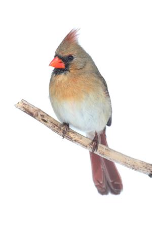 female cardinal: Female Northern Cardinal (cardinalis cardinalis) isolated on white