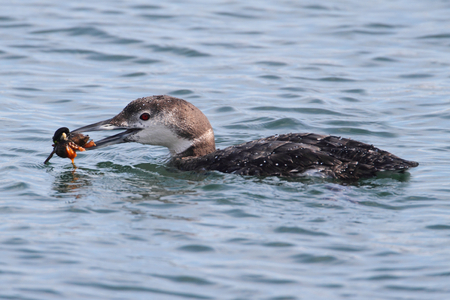 gavia: Common Loon (Gavia immer) eating a crab in the ocean Stock Photo