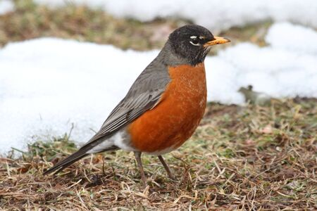 turdus: American Robin (Turdus migratorius) on a lawn with snow