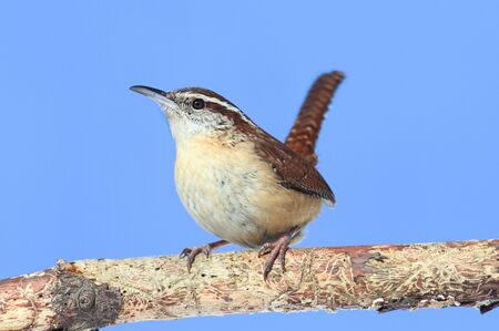 thryothorus: Carolina Wren (Thryothorus ludovicianus) on a branch with a blue sky background