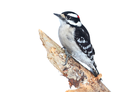 downy woodpecker: Downy Woodpecker (Picoides pubescens) on a branch with a white background