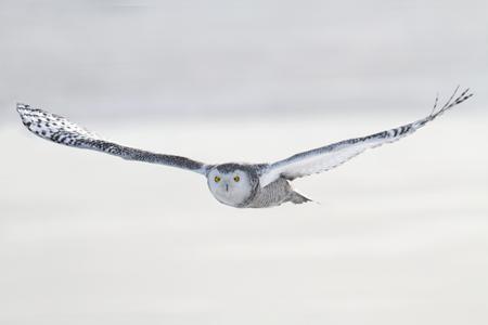 눈 덮인 필드 위에 비행 올빼미 (선종 scandiacus) 스톡 콘텐츠