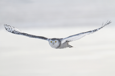 Snowy Owl (Bubo scandiacus) in flight over a snow-covered field