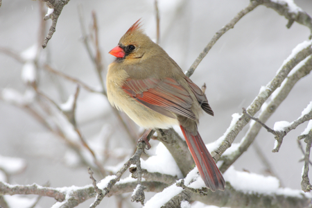 female cardinal: Female Northern Cardinal (cardinalis cardinalis) on a branch in a snow storm