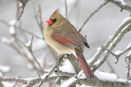 female cardinal: Female Northern Cardinal (cardinalis cardinalis) on a branch in a snow storm