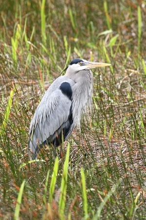 blue heron: Great Blue Heron (Ardea Herodias) standing in a marsh Stock Photo