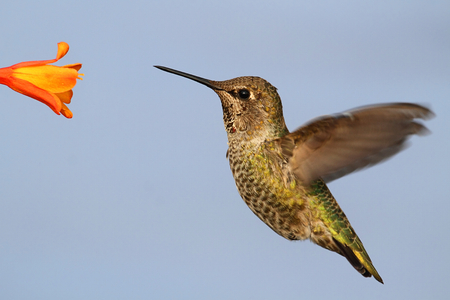 anna: Annas Hummingbird (Calypte anna) in flight at a flower with a blue background Stock Photo