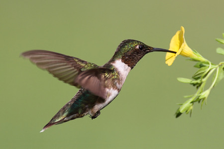 Male Ruby-throated Hummingbird (archilochus colubris) in flight with a yellow flower and a green background photo