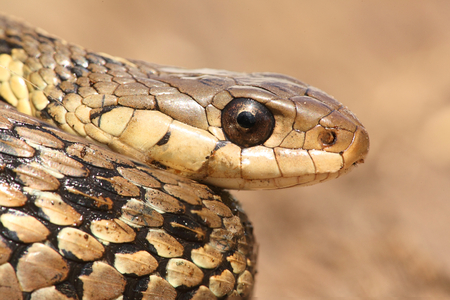 slither: Garter Snake (Thamnophis sirtalis) coiled and ready to strike Stock Photo