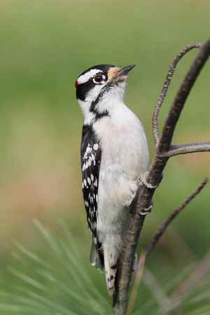 downy woodpecker: Downy Woodpecker  Picoides pubescens  on a perch with a green background Stock Photo