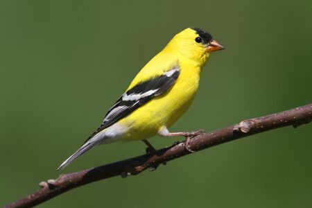 goldfinch: American Goldfinch (Carduelis tristis) on a branch with a green background
