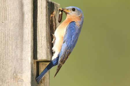 eastern bluebird: Male Eastern Bluebird  Sialia sialis  with a worm and a green background