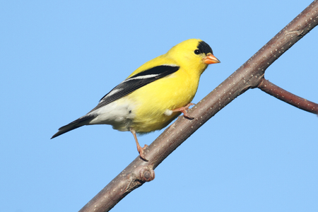 goldfinch: American Goldfinch (Carduelis tristis) on a branch with a blue background