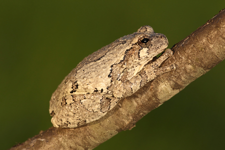 versicolor: Gray Tree Frog (Hyla versicolor) on a tree with a green background Stock Photo