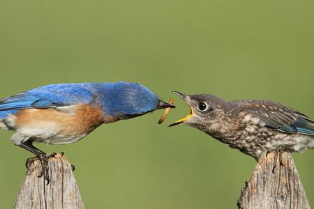 Eastern Bluebird (Sialia sialis) feeding a baby on a fence with a green background