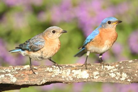 eastern bluebird: Eastern Bluebirds (Sialia sialis) on a perch with flowers Stock Photo