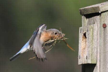eastern bluebird: Female Eastern Bluebird (Sialia sialis) in flight with nesting material