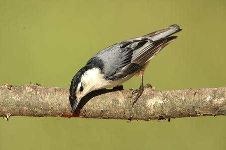 carolinensis: White-breasted Nuthatch (sitta carolinensis) on a tree branch with a green background