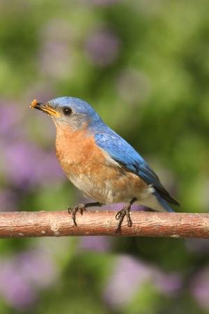 eastern bluebird: Male Eastern Bluebird (Sialia sialis) on a perch with flowers Stock Photo