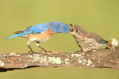 eastern bluebird: Eastern Bluebird (Sialia sialis) feeding a baby on a log with a green background