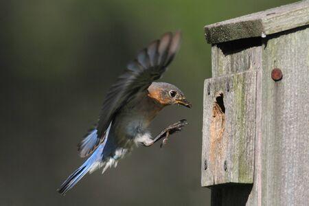 eastern bluebird: Female Eastern Bluebird (Sialia sialis) in flight to a nest