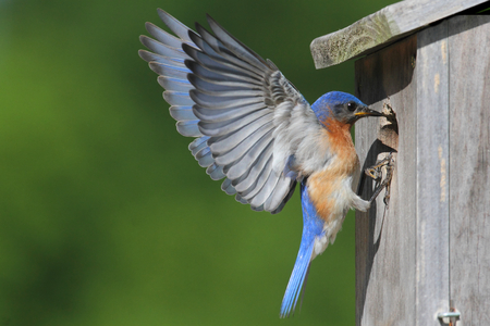 Male Eastern Bluebird (Sialia sialis) in flight to a nest