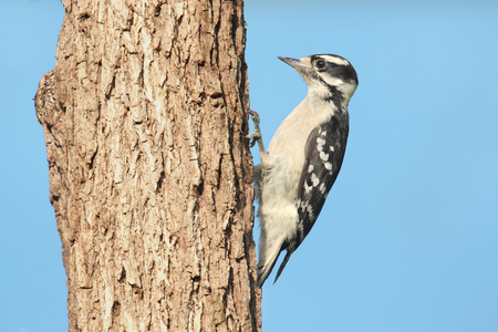 downy woodpecker: Downy Woodpecker  Picoides pubescens  on a branch with a blue background