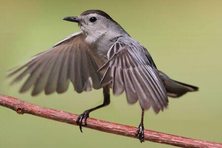 gray catbird: Gray Catbird  Dumetella carolinensis  on a branch