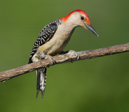 bellied: Male Red-bellied Woodpecker  Melanerpes carolinus  on a tree with a green background Stock Photo
