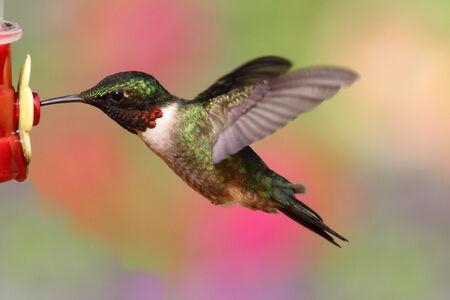 feeder: Juvenile male Ruby-throated Hummingbird (archilochus colubris) in flight at a feeder
