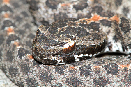 slither: Dusky Pigmy Rattlesnake (Sistrurus miliarius barbouri) coiled to strike