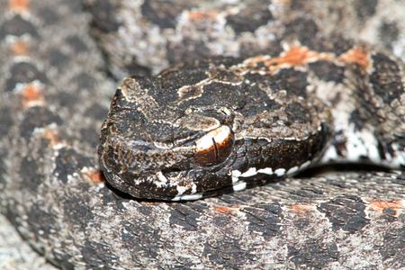 pigmy: Dusky Pigmy Rattlesnake (Sistrurus miliarius barbouri) coiled to strike