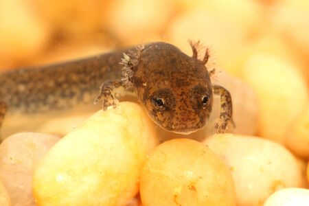 larval: Larval stage of a Northern Dusky Salamander ( Desmognathus fuscus )