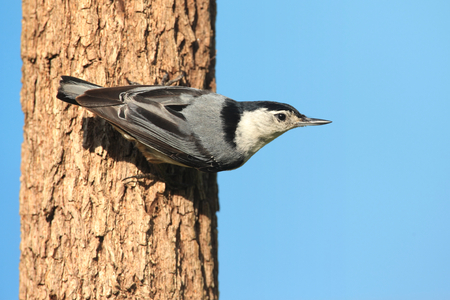carolinensis: White-breasted Nuthatch (sitta carolinensis) on a tree with a blue background