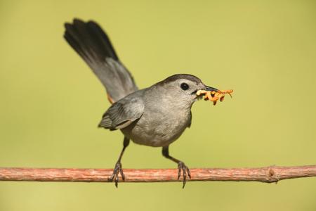 gray catbird: Gray Catbird (Dumetella carolinensis) on a branch with a worm Stock Photo