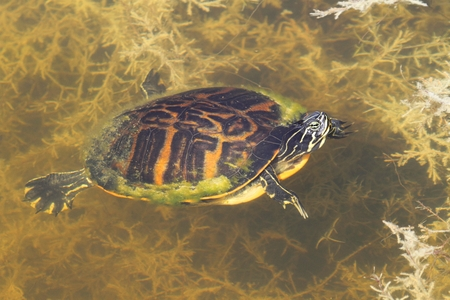 cooter: Florida Red-bellied Cooter (Pseudemys Chrysemys nelsoni) in the Florida Everglades