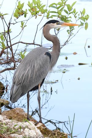herodias: Great Blue Heron (Ardea Herodias) standing in a marsh Stock Photo