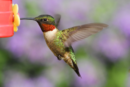 Male Ruby-throated Hummingbird  archilochus colubris  in flight at a feeder with a colorful background