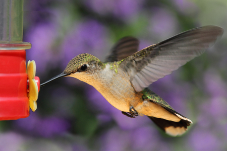 bird feeder: Female Ruby-throated Hummingbird (archilochus colubris) in flight at a feeder with a colorful background